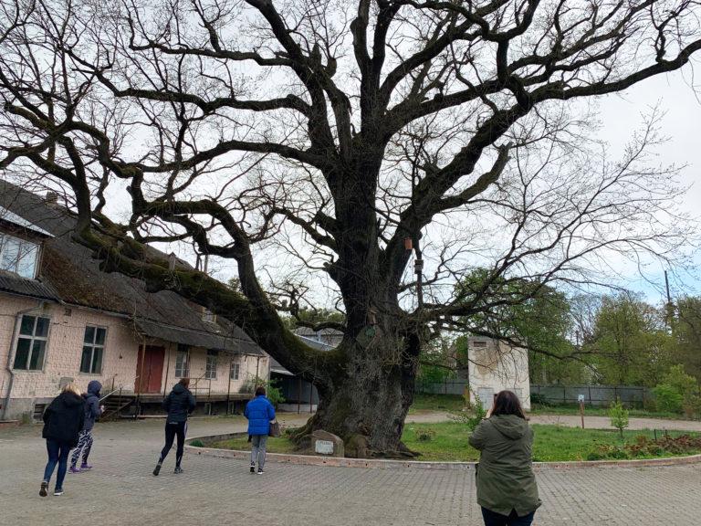 черешчатый дуб в городе Ладушкин